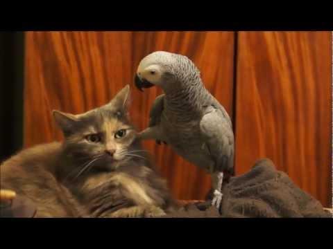 questo pappagallo vuole attenzioni dal gatto: guardate la sua reazione!