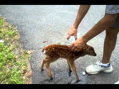 Friendly Baby Deer