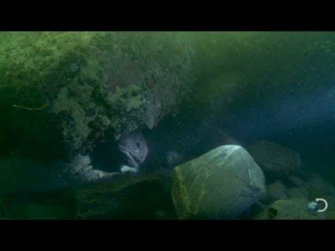 The Wolf Eel | Bering Sea Gold