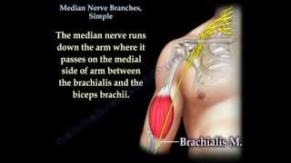 Median Nerve Branches, Simple - Everything You Need To Know - Dr. Nabil Ebraheim