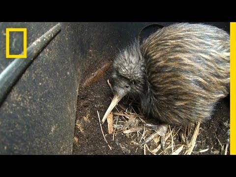 Novozélandský symbol kivi z Nového Zélandu nepochází!