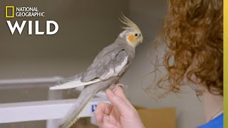 A Contagious Cockatiel   Dr. T, Lone Star Vet by Nat Geo WILD
