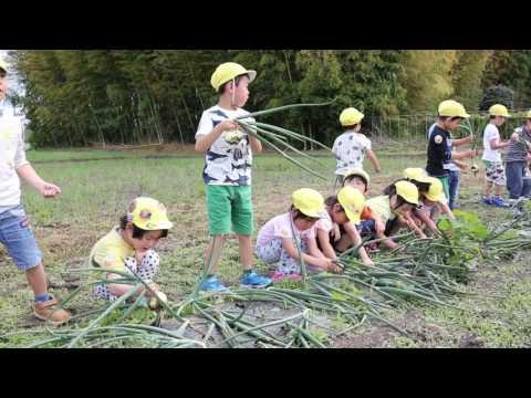 平成29年度 みなみ保育園 玉ねぎ収穫