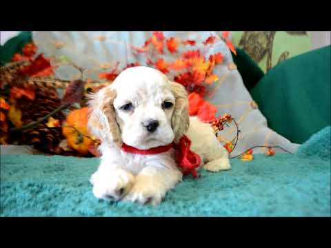 Wally AKC Buff Male Cocker Spaniel Puppy for sale.