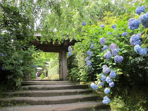 鎌倉のアジサイ寺(明月院、長谷寺、成就院)鎌倉観光 Kamakura Hydrangea temple spot 花の名所案内 鎌倉観光