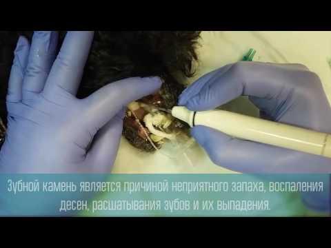 Санация ротовой полости собаки ультразвуком