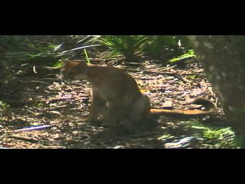 Waterways Episode 267 - Florida Panther and Pharmaceuticals in Our Waters