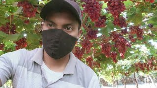Video How to grow grapes from seed MP3, 3GP, MP4, WEBM, AVI, FLV Desember 2018
