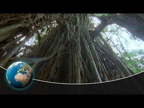 The Strangler Fig – An unbelievable tree killer