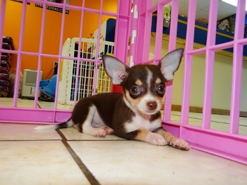 Chihuahua, Puppies, For, Sale, In, Charleston, South Carolina, SC, Cayce, Beaufort, Bluffton, Ladson