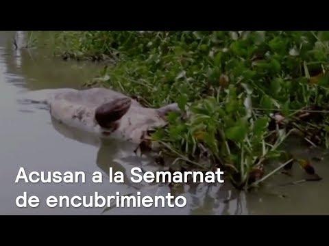 Tras muerte de manatíes, ofrecen agua a Rafael Pacchiano