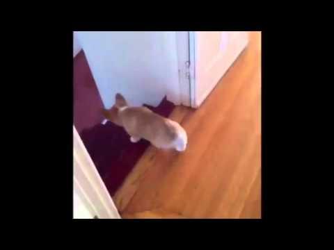 可愛的狗狗怎麼下樓梯呢?答案是…用滾的!!