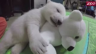 Video Adorable polar bear cub, rejected by her mother doing great at Columbus Zoo MP3, 3GP, MP4, WEBM, AVI, FLV Oktober 2017