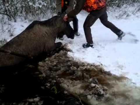 Opération de sauvetage pour un orignal en Suède
