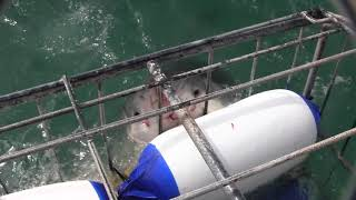 Feast Your Eyes On Terrifying Gigantic White Shark Encounter Inside A Diving Cage