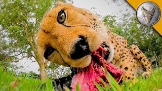 Video MEATING a Cheetah! MP3, 3GP, MP4, WEBM, AVI, FLV Januari 2019