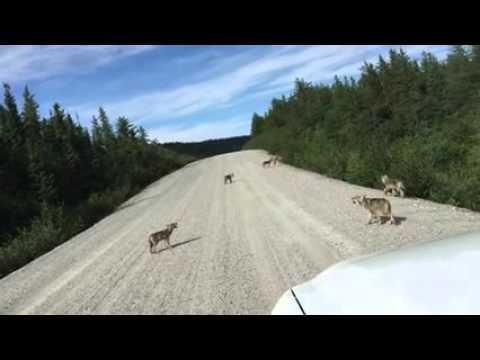 Bébés loups qui hurlent sur une route de la Baie-James
