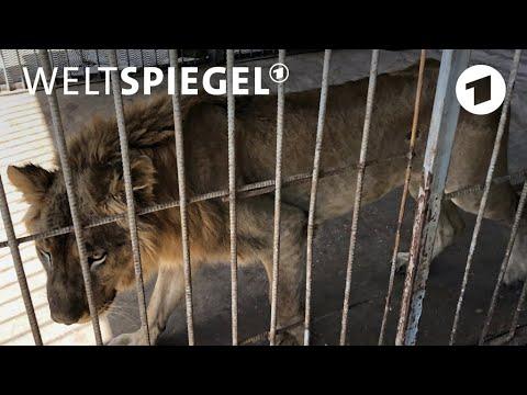Karthum/Sudan: Die vergessenen Löwen im Zoo | Weltspie ...