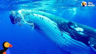 Whale Protects Diver From Shark | The Dodo by The Dodo