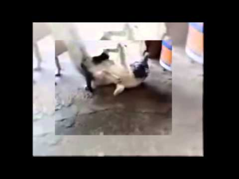 Video PERRO DANDO CARIÑO A UN GATO?, PERRO VS GATO. download in MP3, 3GP, MP4, WEBM, AVI, FLV January 2017
