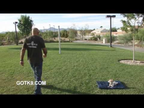 Got K9 Las Vegas Chihuahua Training