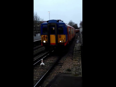 Hilarious Moment a Swan Held up a Train