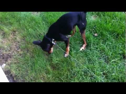Chuck, Chihuahua Miniature Pinscher mix, playing in the grass
