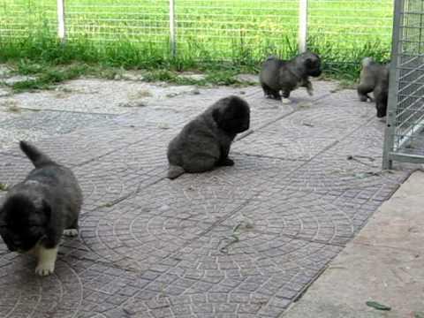 Cuccioli pastore del caucaso disponibili per informazioni contattare il centro