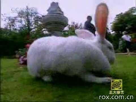史上最重的兔子,居然有11.8公斤!