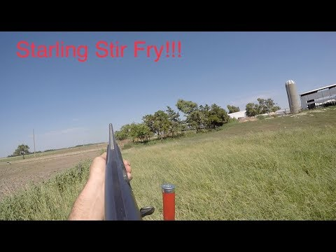 Invasive Starling Pest Hunt on the Farm (Catch Clean Cook)