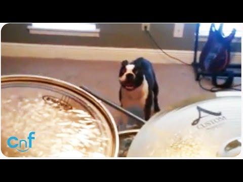 questo cane odia la batteria, guardate cosa si fa per farla smettere!