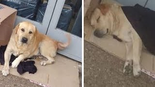Dog Stays Near A Hospital, Not Knowing His Owner Is Dead - Dogs Loyal to Owner by Did You Know Animals?