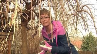 Csüngő eperfa (Morus alba 'Pendula') metszése