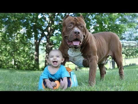 Good...! Giant Pit Bull Hulk & The Newborn Baby