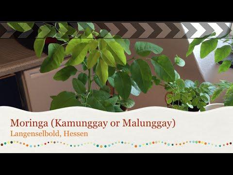 Moringa Oleifera (Malunggay or Kamunggay)
