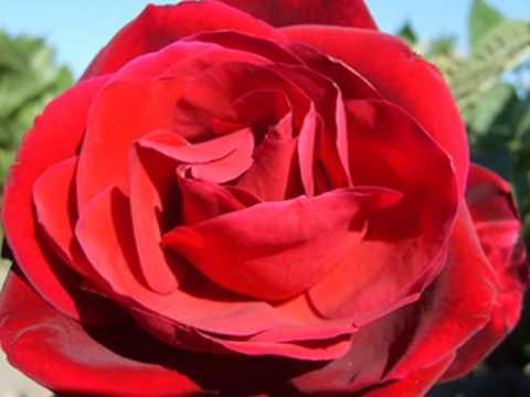 Tekst piosenki Maanam - Róża po polsku