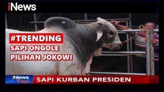 Video Presiden Jokowi Pilih Sapi Jawa Peranakan Ongole sebagai Hewan Kurban - iNews Pagi 10/08 MP3, 3GP, MP4, WEBM, AVI, FLV Agustus 2019