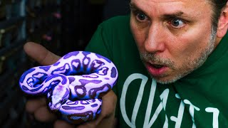 YOU WON'T BELIEVE THE COLOR OF THESE SNAKES!! | BRIAN BARCZYK by Brian Barczyk