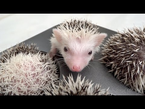 Hedgehog Muffins Cute