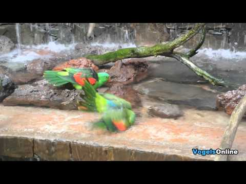 Roodvleugelparkiet – Red Winged Parrot [VogelsOnline]