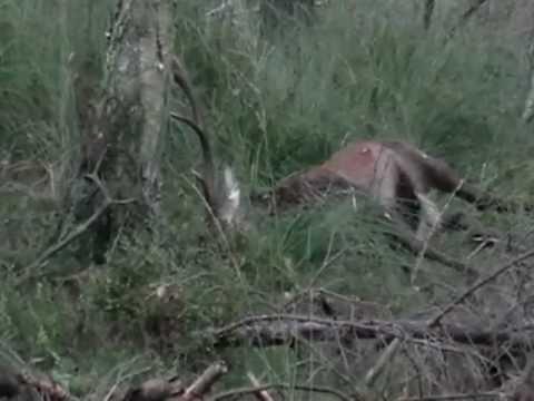 polowanie jelenie  - zrogowany !!!