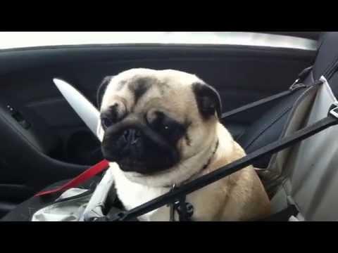 Koira sekoaa kun saa tietää olevansa menossa lemmikkikauppaan