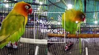 Video BnR Banten Cup #3 : Tutorial Pasang GOPRO Di Sangkar Lovebird PUSOKO dan BENTOEL MP3, 3GP, MP4, WEBM, AVI, FLV Desember 2018