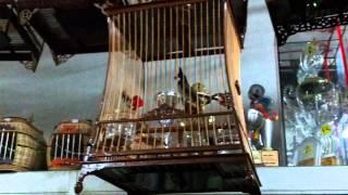 Merbah Jambul Butir from Ipoh Frankie..!! Video