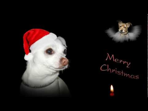 18. Chihuahua's first Christmas !!