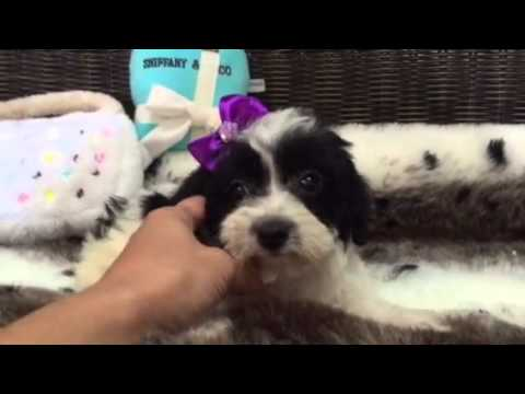Beautiful Black & White, Baby Girl Yorkiepoo!