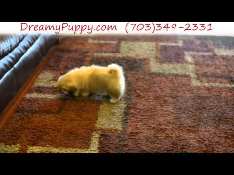 Gorgeous Pekingese Female Puppy 3