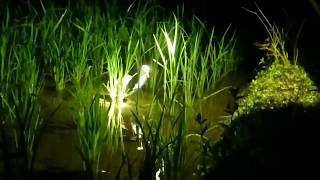 Berburu ruak ruak malam,(kubu hunting) ep;lanjutan-awesome bird trap/catch bird