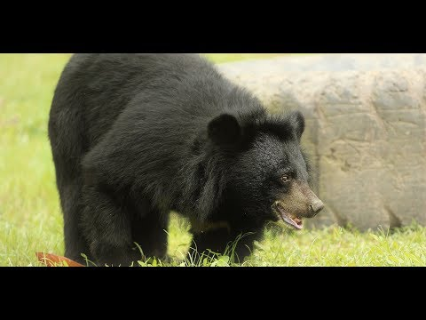 Proof that moon bears are the most playful bears