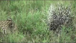 Video Porcupine Vs Leopard: Another battle at Kruger MP3, 3GP, MP4, WEBM, AVI, FLV Oktober 2018